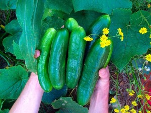 amy's cucmbers resized